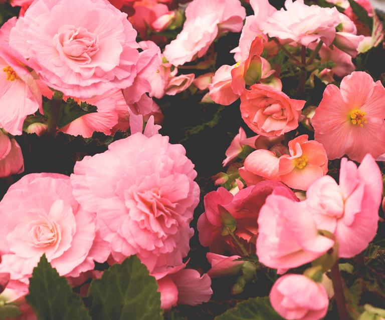 How To Grow And Care For Tuberous Begonias Australian House And