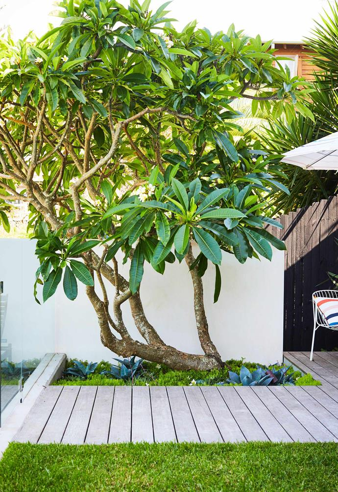 The existing trees in this coastal garden instantly became the focal point of its lush, layered design. Leading the charge is this frangipani tree (one of many in the pool area) plus various corkscrew pines and strelitzia.