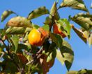 Persimmon: how to plant and care for this deciduous fruit tree