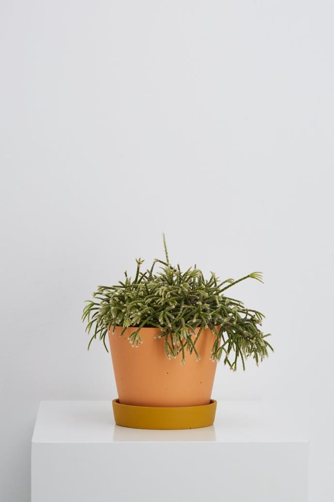 "Small 'Louise' pot, $59, [Capra Designs](https://capradesigns.com/collections/all-products/products/small-louise-pot|target=""_blank""