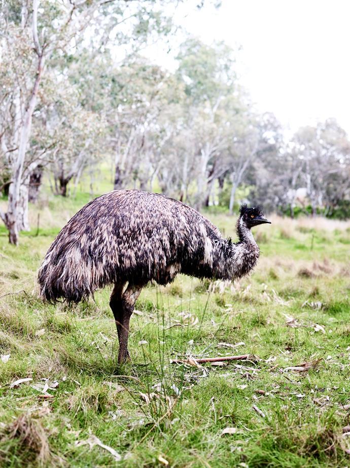 Ernie the emu.