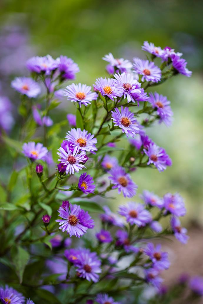 Pretty purple flowers of the Coneflower (Echinacea spp.)