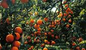 Blood oranges: How to grow and care for this citrus fruit