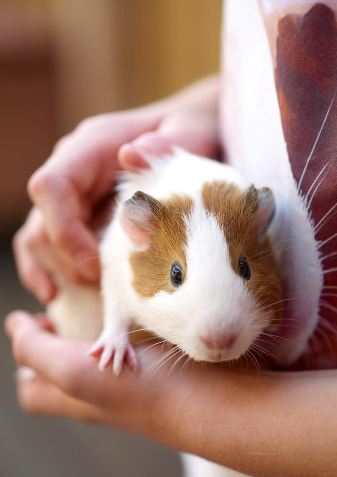 Guinea pigs are fairly cheap to feed as they will mainly live off your fruit and vegetable scraps.
