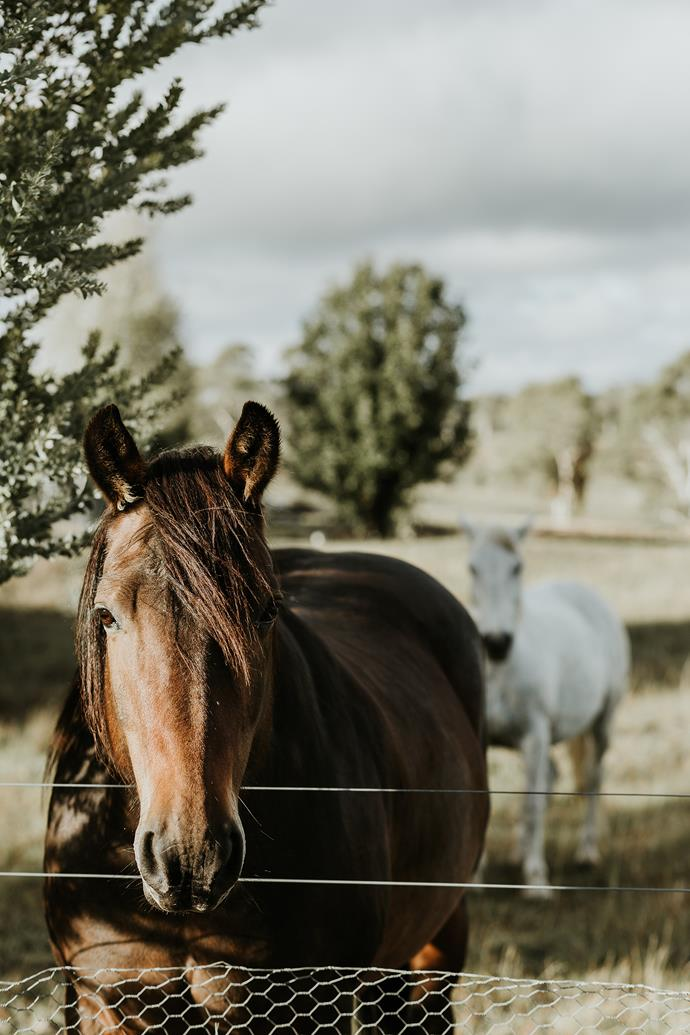 Friendly horses come up to the fence. Glen Innes is a prime agricultural region.