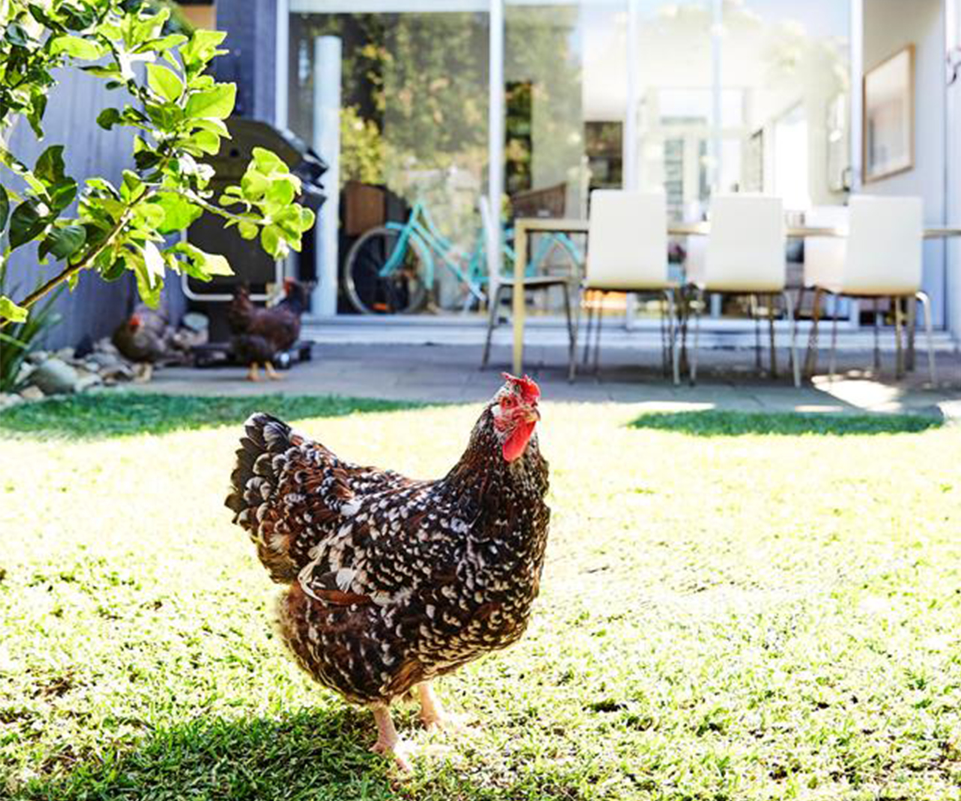How to keep chickens in the city
