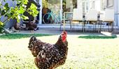 How to keep chickens in a small suburban garden
