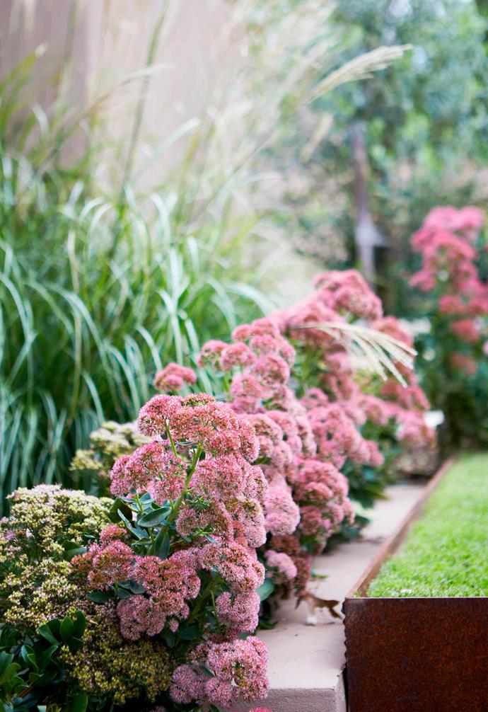 **Rear aspect** *Sedum* 'Autumn Joy' echoes the home's peach-pink exterior.