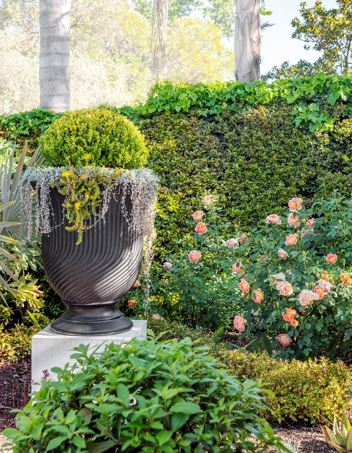 Perfectly composed vignettes and picturesque layerings of foliage can be found throughout the garden. Here, a profusion of multi-headed  David Austin 'Lady of Shalott' roses pops against the hedge of lilly pilly (Syzygium australe 'Bush Christmas'). The urn features a clipped ball  of Japanese box under-planted with trailing Dichondra 'Silver Falls'.