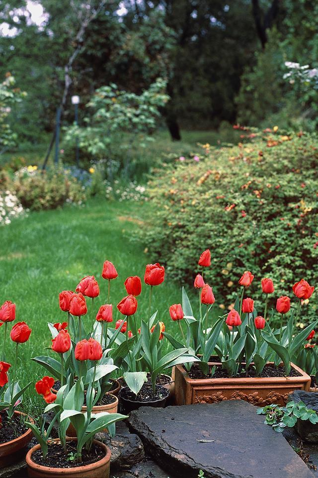 When grown in pots, tulips are great plants for balconies, verandahs and courtyards. Photo: bauersyndication.com.au