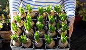 Bulbs: how to plant, grow and care for
