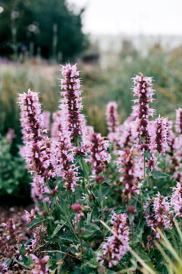 The dense and colourful plantings around the lawn include pink agastache and purple-flowering verbena.