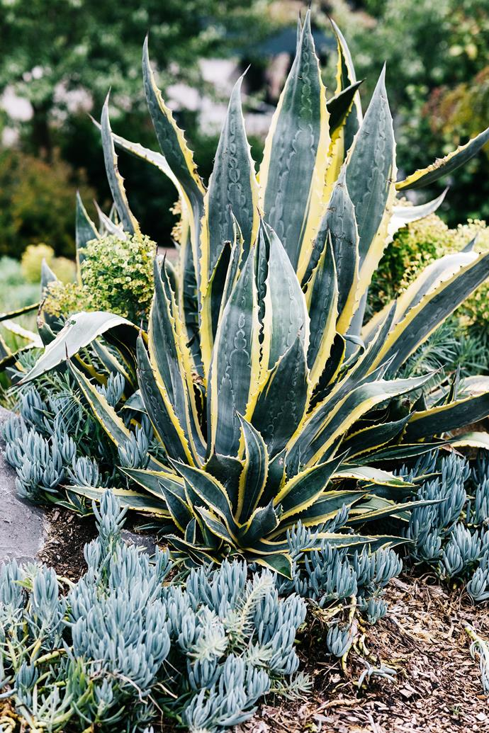 The bold straps of Agave americana variegata contrast with blue chalk sticks at its base.