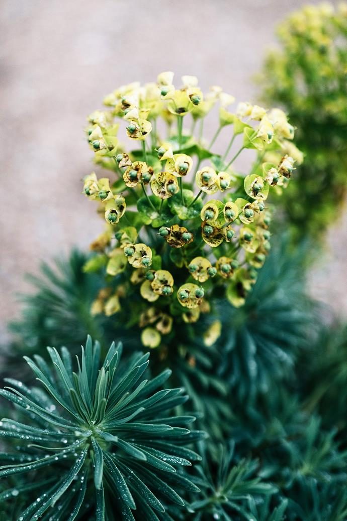The dramatic bright yellow heads of Euphorbia characias ssp. wulfenii.