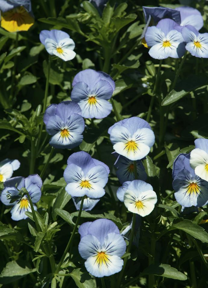 **Pansy and viola** (Viola x wittrockiana). Pansies and violas range from pale blue to deep purple. Grow them in garden beds or pots for flowers from winter to spring (year round in cool climates). In the language of flowers, they symbolise thought.