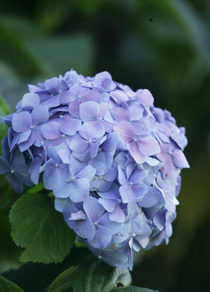 **Hydrangea** (Hydrangea macrophylla). Hydrangeas flower blue where soils are acidic. These summer-flowering shrubs came originally from Asia. The small Azores island of Faial has so many wild hydrangea that it has been dubbed the Blue Island.