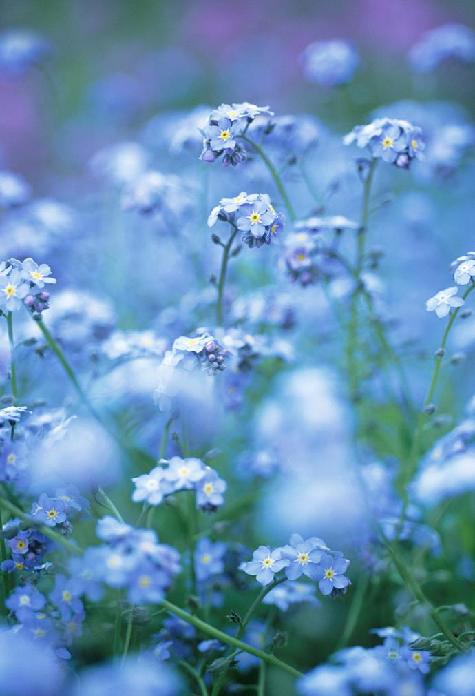 **Forget-me-not** (Myosotis sylvatica). For a sea of blue flowers in spring, plant forget-me-nots. Be sure you want them though, as they'll seed and regrow every year forever. They get their beguiling name from the way the seeds adhere to everything from your jeans to the dog's fur.