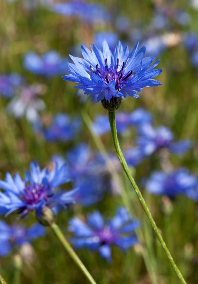 **Cornflower** (Centaurea cyanus). The blue of cornflowers is a special colour known as cornflower blue. Cornflowers bloom in spring and summer. Dry cornflower petals are included the Twinings' Lady Grey tea blend.