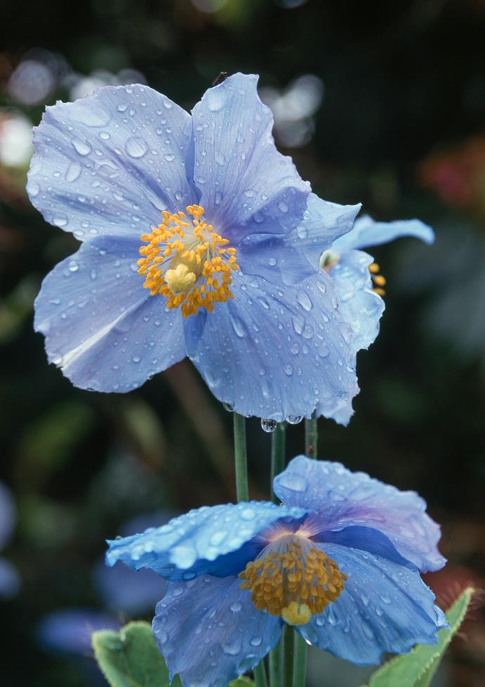 **Blue poppy** (Mecanopsis betonicifolia). This captivating blue poppy comes from the alpine fields of the Himalayas. To grow this rare plant successfully it demands a cool climate and a cool, moist spot in the garden.