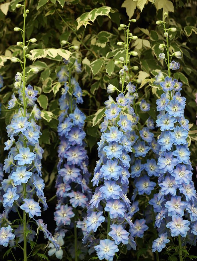 **Delphinium** (Delphinium elatum). For tall spires of vivid blue flowers it is hard to ignore delphiniums. These perennials grow best in cool climates with moist soils. Protect from wind and support the 1-2m high stems with stakes. They flower in summer.