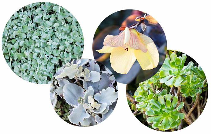Hugh Burnett layered tropical plants and succulents chosen for their foliage contrasts and tolerance to heat, sandy soil and drought. **Plant palette** (from left) *Dichondra argentea* 'Silver Falls'. *Kalanchoe beharensis*. *Hibiscus tiliaceus* 'Rubra'. *Aeonium arboreum*.