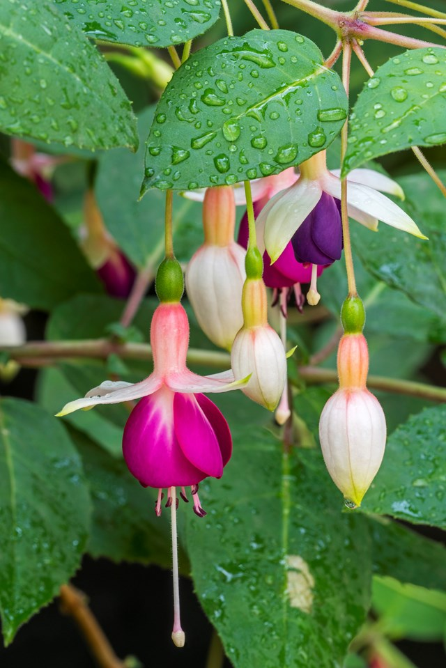 "**Fuschia** (Fuchsia x hybrida) Is this a pair of ornate earrings or ballerinas in full flight? They could be either, but are the hanging flowers of a hybrid [fuchsia](https://www.homestolove.com.au/fuchsia-9615|target=""_blank""). Great in pots or hanging baskets, fuchsias flower from spring to autumn in a cold to cool temperate garden in a spot with afternoon shade. They are deciduous in winter."