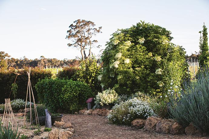 In the sauvignon blanc affinity bed is a bamboo tee-pee with young sugar snap peas growing at the base, while the cage has a caper berry bush growing inside it. The descriptor bed, to the right of the path, features a large elderberry shrub, potted pineapple mint and a large clump of lemon balm.