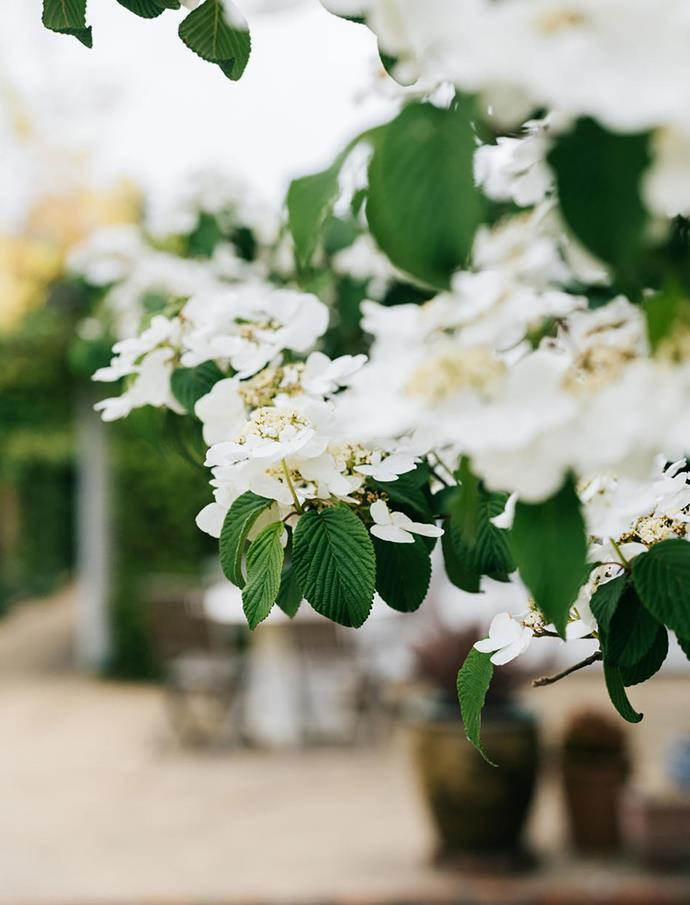 The flowers of the Japanese Snowball bush.