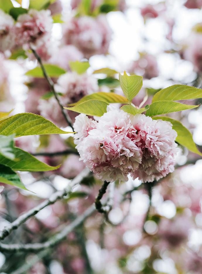 Papery pink ornamental cherry blossoms.