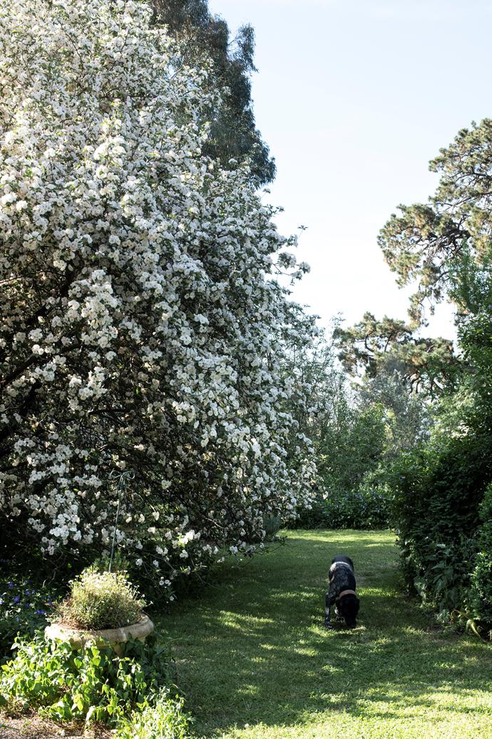 Whitney the four-year-old German shorthaired pointer following near the crabapple (Malus ioensus) in full bloom.