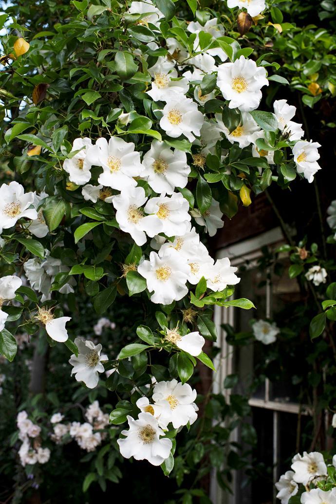 Cherokee roses.
