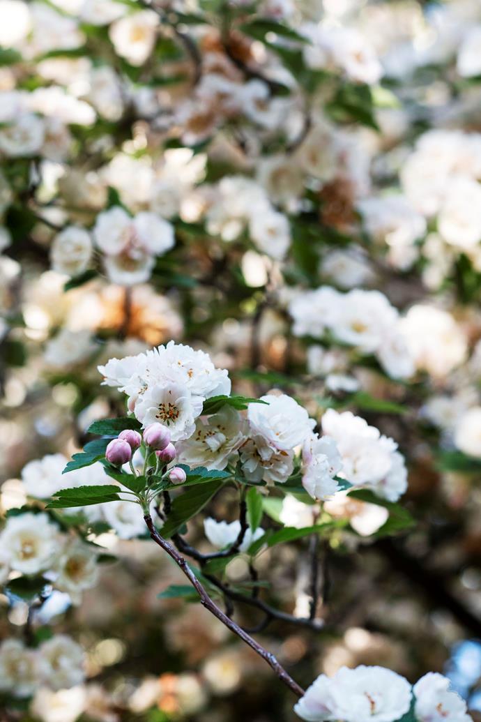 Crabapple blossom.