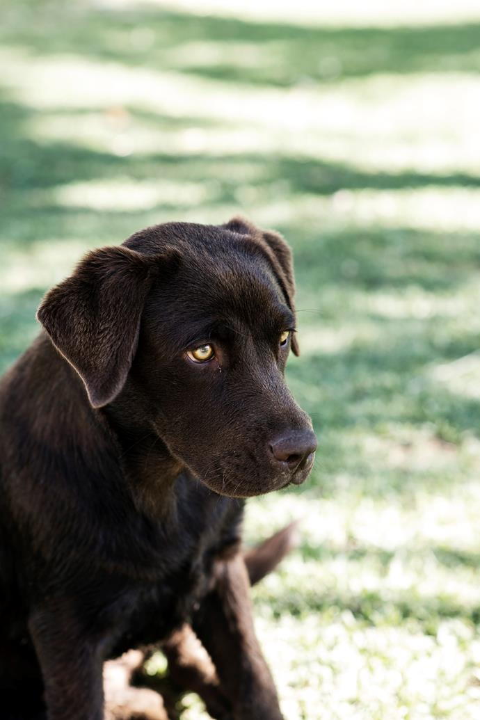 Six-month-old Polly, a chocolate labrador, waiting for someone to play with.