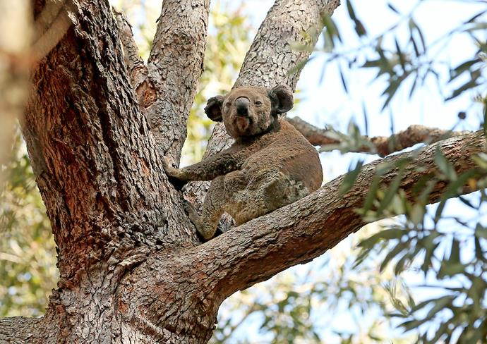 Ryan has worked with koala detection dogs for National Parks, forestry, Koala Hospital and local councils around Port Macquarie, Kempsey and Taree.