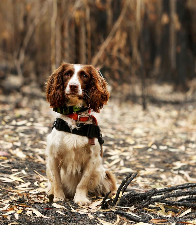 Taylor, a four-year-old English Springer Spaniel, has been trained to sit if she locates a live koala or lay down if she discovers koala droppings.