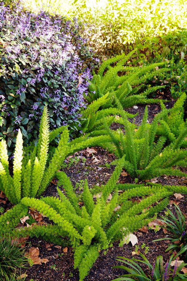 Foxtail ferns (Asparagus densiflorus 'Myersii') in the front garden of an Edwardian home. Photo: Simon Griffiths*