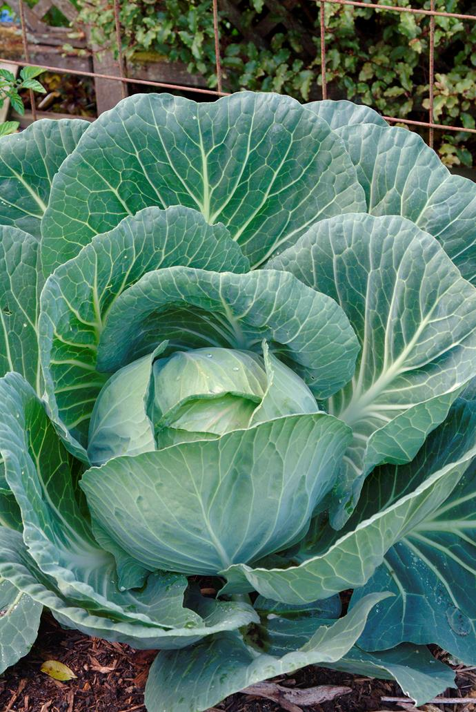 Winter vegetables like cabbage, carrots, cauliflower and parsnips should be planted now.