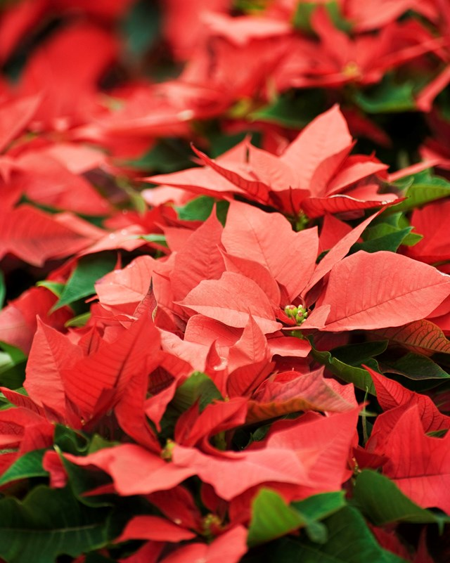 While flowering, poinsettias require minimal care – just water it occasionally when the soil becomes dry.