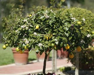 How to grow lots of fruit on your citrus trees