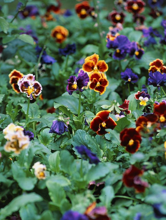 Pansies are the perfect autumn flowers to bring colour to your garden.