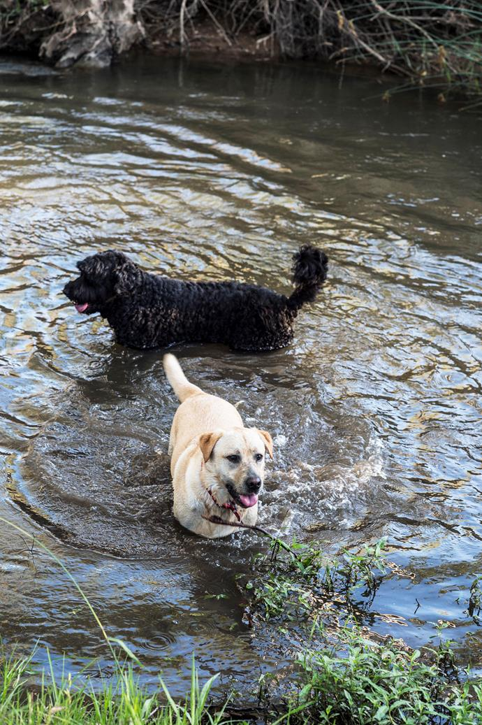 The dogs take a dip in the pond.