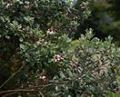 10 fast-growing edible hedge plants