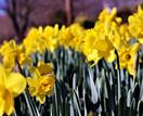 Plant guide: daffodils and paperwhites