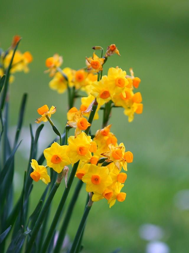 Jonquils can produce white or yellow flowers and have a very strong scent.