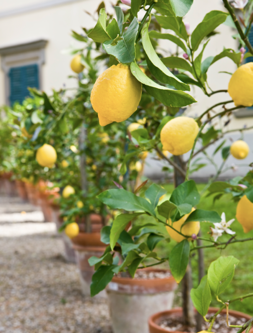 The best way to provide all the nutrients citrus trees need is to use a complete citrus food.