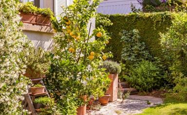 How to grow citrus trees in pots