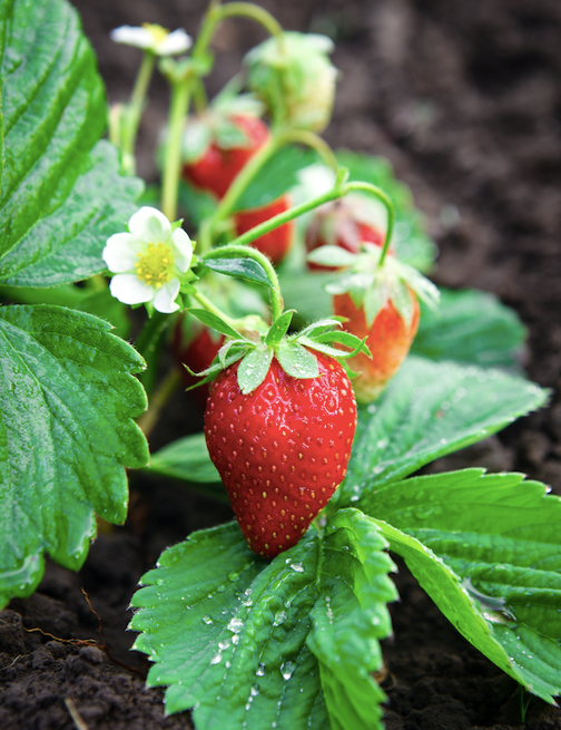 Strawberries are ground-hugging, herbaceous plants bearing white and sometimes pink flowers.
