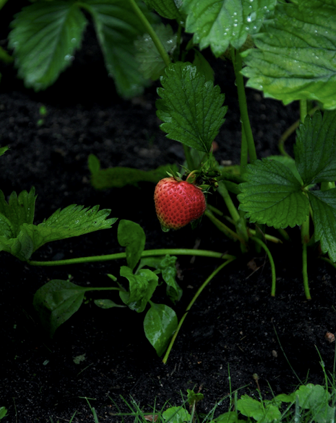 Strawberries are at their best when each fruit is three-quarters red.