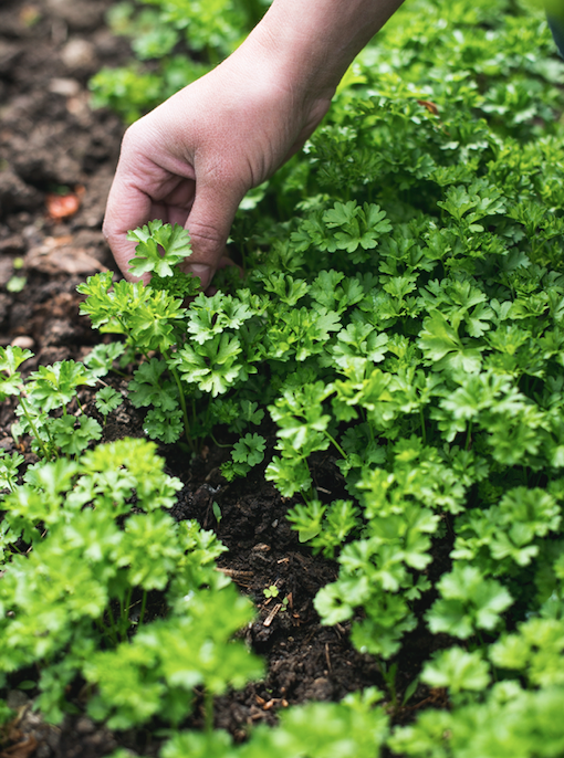 "Dill, chives and flat leaf parsley are just a few of the [best homegrown herbs](https://www.homestolove.com.au/the-best-herbs-to-grow-15887|target=""_blank"") to have on hand in the kitchen."