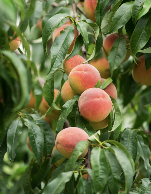 The availability of dwarf peach, nectarine, apple (Ballerina and others) and citrus means you can enjoy a mini orchard in even the smallest gardens.